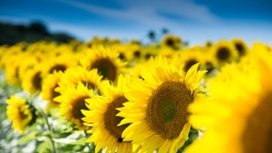 Sunflowers - a traditional Spiritualist symbol